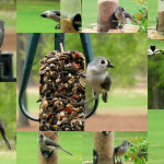 Tufted Titmice